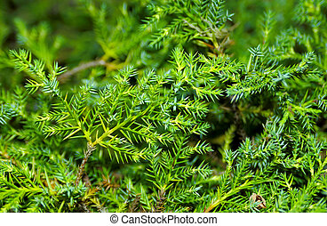 Pine Needles - Photo of Pine Needles