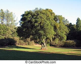 Oak Tree In Meadow