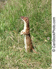Stoat 1 Weasel - A stoat with its summer fur standing...
