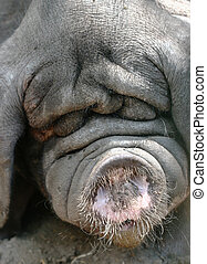 Meishan Pig - An unbelievably ugly pig with lots of wrinkles...