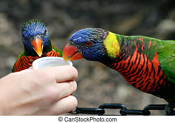 Lorikeet Lunch - Two rainbow lorikeets eating food from a...