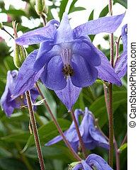 bellflower - blue bellflower