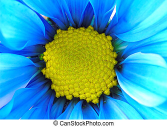Blue and Yellow Flower - Photo of a Painted Daisy