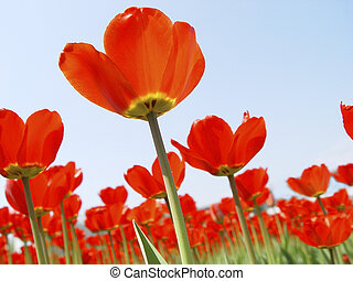 red tulips - tulips