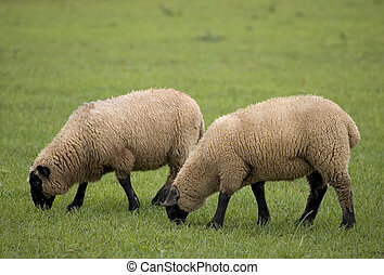 Two Sheep - Two sheep grazing in a field