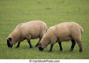 deux, mouton