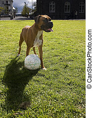 Dog playing soccer on a sumer day