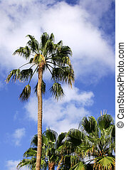 Palm Trees - Washingtonia palms and blue sky