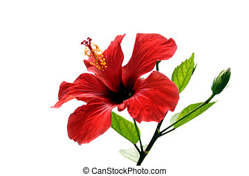 Hibiscus Isolated - Red hibiscus flower isolated on white...