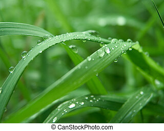 Dew 1 - on the green grass
