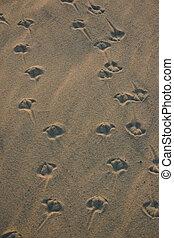 Sea Gull Prints - Footprints of Sea Gulls in the sand