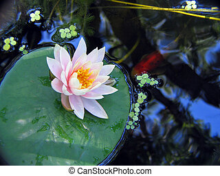 Lily and Fish - Waterlily and koi fish in pond