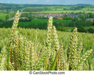 Wheat field in Limburg, the Netherlands
