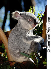 Koala at Australia Zoo - A rare thing..Koalas usually sleep...