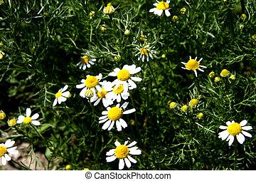 Camomile - Digital photo of Camomile