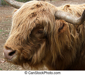 Animal -Highland Cow - Highland cow - face