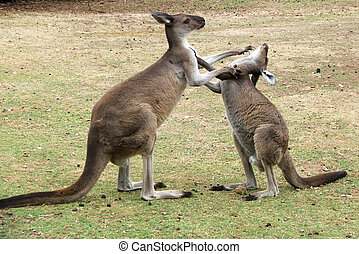 Animal - Kangaroo - Kangaroo