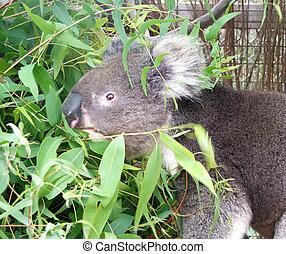 Animal - koala - Koala feeds on some eucaliptus leaves