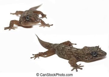 Gecko Superstars - Two geckos isolated