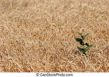 farmers fiend - a weed poking out of a field