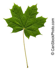 Maple Leaf path included - green maple leaf path included...