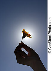 Holding a Flower - Silhouette of womans hand holding a...