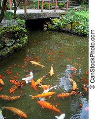 Koi Pond - Rainbow collection of Japanese Koi in temple pool...