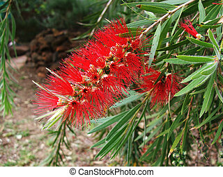 Flower - bottlebrush