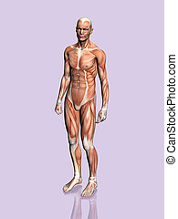 Anatomy of the man. - Anatomically correct medical model of...