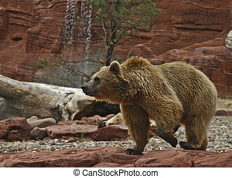 Grizzly Bear Pacing - Grizzly Bear pacing in his compound