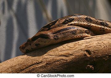 pitone, serpente, albero