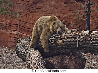 Resting Grizzly Bear - Grizzly Bear resting on tree stump