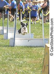 Flyball 4979 - flyball dog