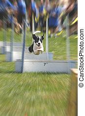 Flyball - flyball dog