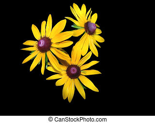 Black Eyed Susan On Black