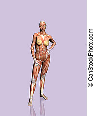 Anatomy of the woman - Anatomically correct medical model of...