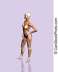 Anatomy of the woman. - Anatomically correct medical model...
