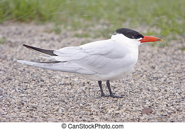 Caspian Tern In A Snow Storm - Caspian Tern Facing Into The...