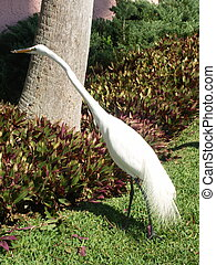 Stalking Egret - Great egret
