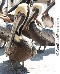 Gathering for Lunch - Brown pelicans
