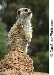 Meerkat sentry - Meerkat on watch, Children's Zoo, San...
