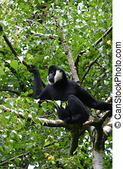 White cheeked gibbon resting in a treetop
