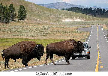 bison crossing the road in yellowstone - two bison slowly...