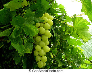 Conservatory Grapes - One for gardeners