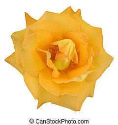 Macro of a rose