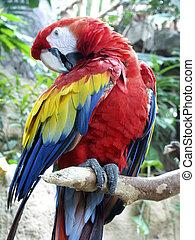 Preening Parrot - Parrot preening on branch