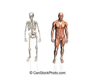 Anatomy of the man with skeleton.. - Anatomically correct...