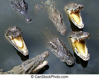 Your nightmare - Crocodiles in water