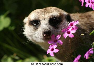 Meerkat in Flowers
