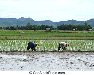 Rice plantation in T - Two women working in a rice...